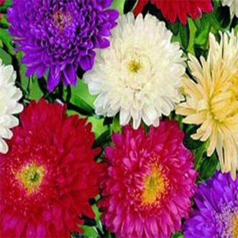 Aster mixed seeds (Hybrid)