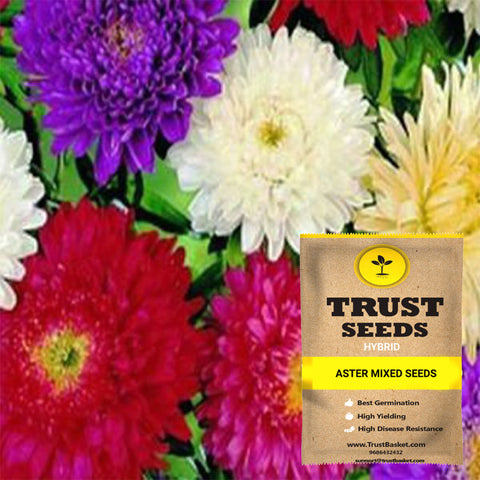 Buy Best Aster Plant Seeds Online - Aster mixed seeds (Hybrid)
