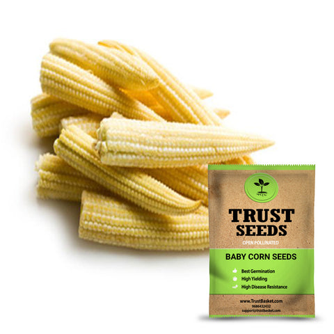 Buy Best Baby Corn Plant Seeds Online - Baby corn seeds (Open Pollinated)