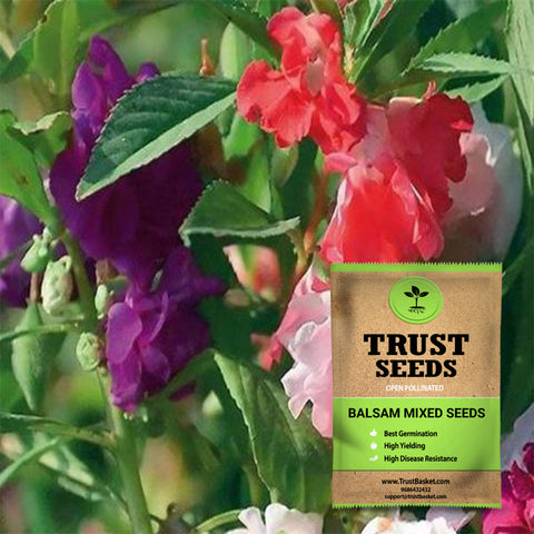 Buy Best Balsam Plant Seeds Online - Balsam mixed seeds (Open Pollinated)
