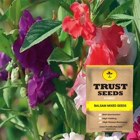 Buy Best Balsam Plant Seeds Online - Balsam mixed seeds (Hybrid)