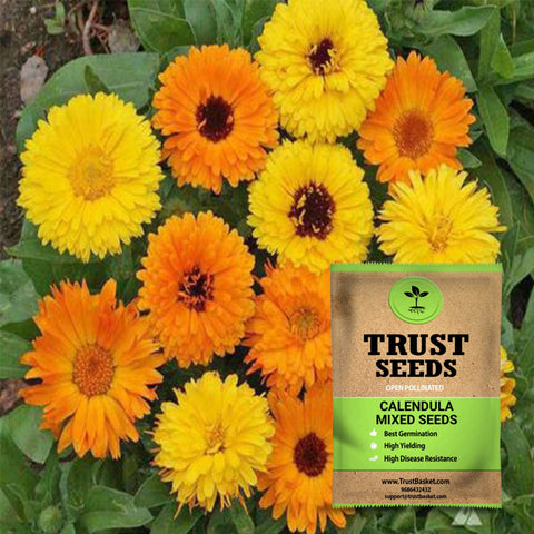 Buy Best Calendula Plant Seeds Online - Calendula mixed seeds(Open Pollinated)