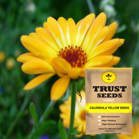 Buy Best Calendula Plant Seeds Online - Calendula yellow seeds (Hybrid)