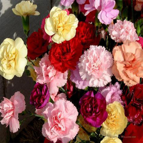 Carnation mixed seeds (Hybrid)