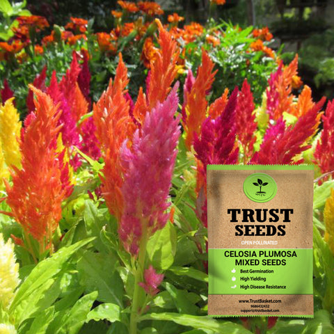 All seeds - Celosia plumosa mixed seeds (OP)