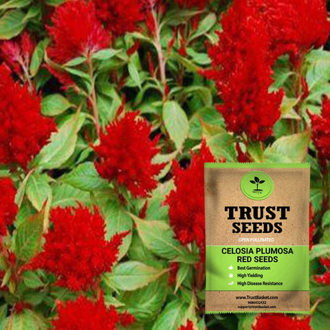 Buy Best Celosia Plant Seeds Online - Celosia plumosa red seeds (OP)