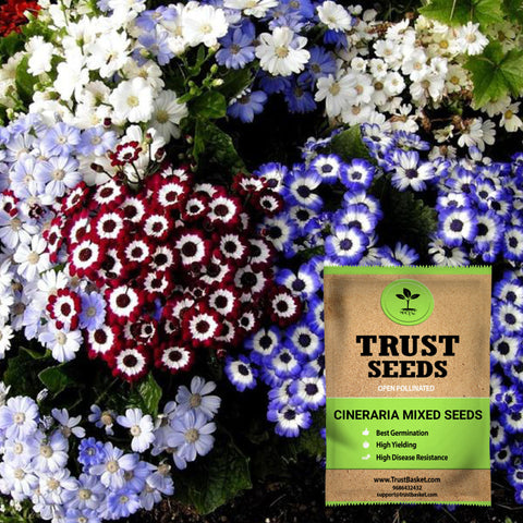 All online products - Cineraria mixed seeds (Open Pollinated)