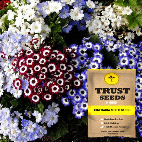 Colorful Designer made planters - Cineraria mixed seeds (Hybrid)