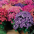 Cineraria mixed seeds (Open Pollinated)