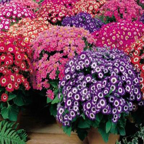 Cineraria mixed seeds (Hybrid)