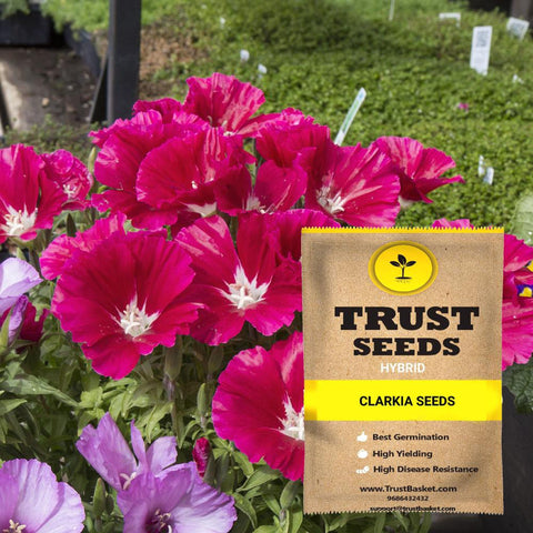All Flower seeds - Clarkia Seeds (Hybrid)