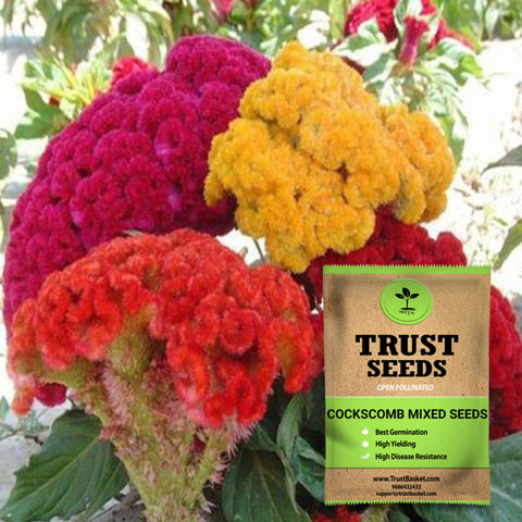 Buy Best Cockscomb Plant Seeds Online - Cockscomb mixed seeds (Open Pollinated)