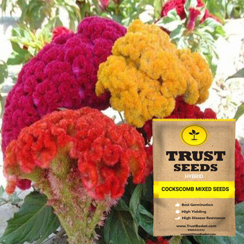 Buy Best Cockscomb Plant Seeds Online - Cockscomb mixed seeds (Hybrid)