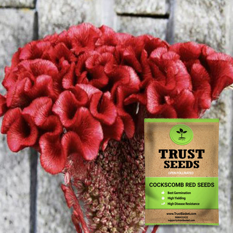 Buy Best Cockscomb Plant Seeds Online - Cockscomb red seeds (Open Pollinated)