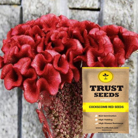 All Flower seeds - Cockscomb red seeds (Hybrid)