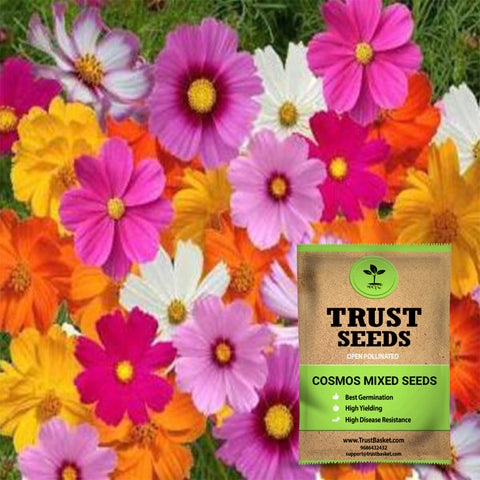 Buy Best Cosmos Plant Seeds Online - Cosmos mixed seeds (Open Pollinated)