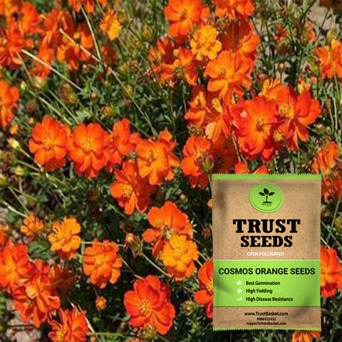 Buy Best Cosmos Plant Seeds Online - Cosmos orange seeds (Open Pollinated)
