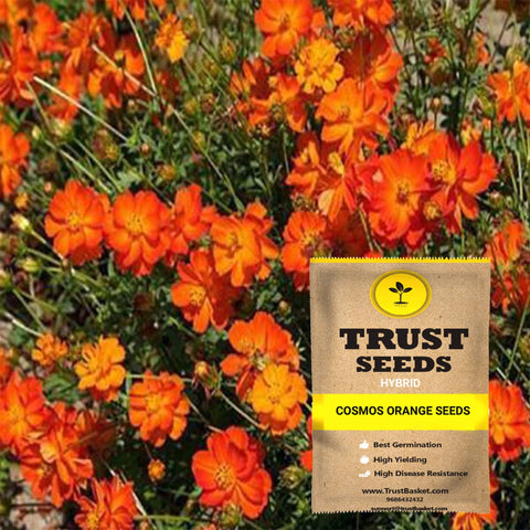 Buy Best Cosmos Plant Seeds Online - Cosmos orange seeds (Hybrid)