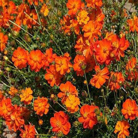 Cosmos orange seeds (Hybrid)
