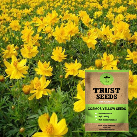 Buy Best Cosmos Plant Seeds Online - Cosmos yellow seeds (Open Pollinated)
