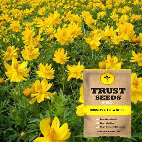 Buy Best Cosmos Plant Seeds Online - Cosmos yellow seeds (Hybrid)