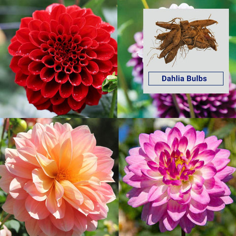Dahlia Flower Bulbs