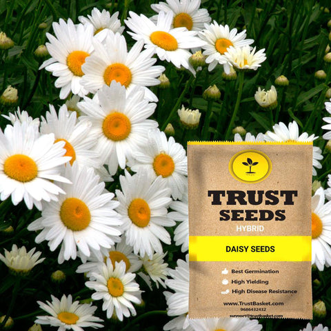 All Flower seeds - Daisy Seeds (Hybrid)