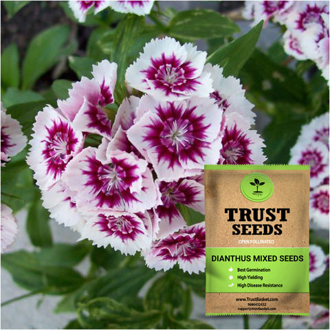 Buy Best Dianthus Plant Seeds Online - Dianthus mixed seeds (Open Pollinated)