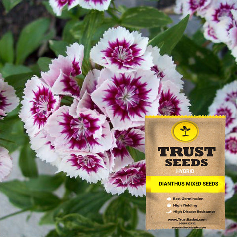 All Flower seeds - Dianthus mixed seeds (Hybrid)