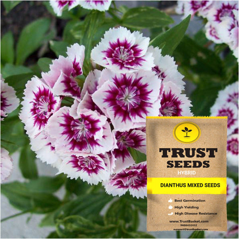 Buy Best Dianthus Plant Seeds Online - Dianthus mixed seeds (Hybrid)
