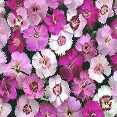 Dianthus mixed seeds (Open Pollinated)