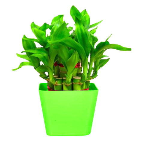 Lucky Bamboo  With Square Green Planter