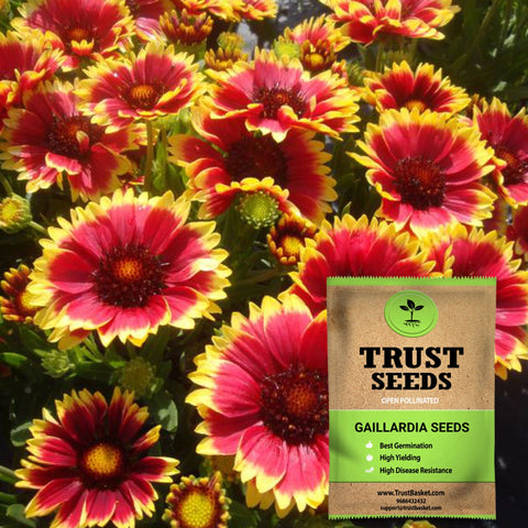 Under Rs.299 - Gaillardia seeds (Open Pollinated)