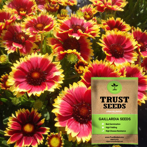 Colorful Designer made planters - Gaillardia seeds (Open Pollinated)