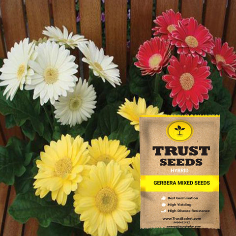 All Flower seeds - Gerbera mixed seeds (Hybrid)-Contains around 10 - 15 seeds
