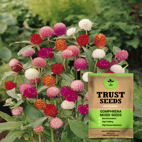 Under Rs.299 - Gomphrena mixed seeds(Open Pollinated)