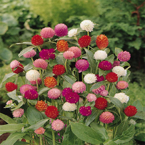 Gomphrena mixed seeds (Hybrid)