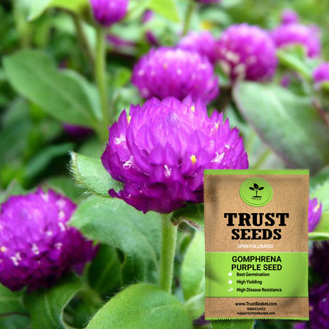 Buy Best Gomphrena Plant Seeds Online - Gomphrena purple seeds (Open Pollinated)