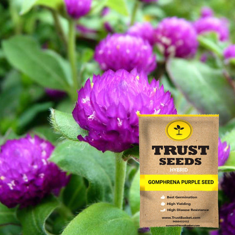 Buy Best Gomphrena Plant Seeds Online - Gomphrena purple seeds (Hybrid)