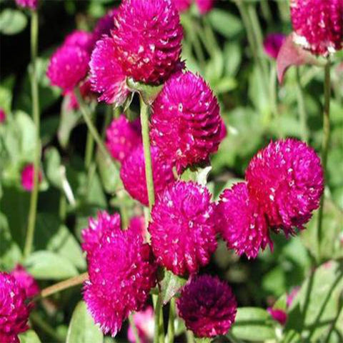 Gomphrena purple seeds (Hybrid)