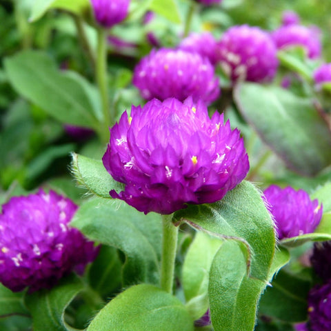 Gomphrena purple seeds (Open Pollinated)
