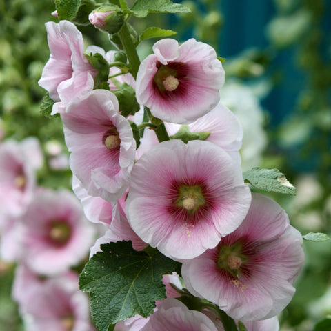 Hollyhock Seeds (Hybrid)
