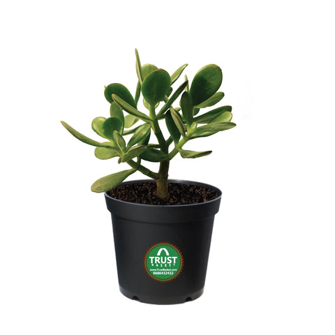 Indoor Jade Plant in 4 inch Pot