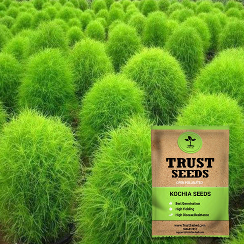 Buy Best Kochia Plant Seeds Online - Kochia seeds (Open Pollinated)