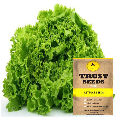 Buy Best Lettuce Plant Seeds Online - Lettuce seeds (Hybrid)