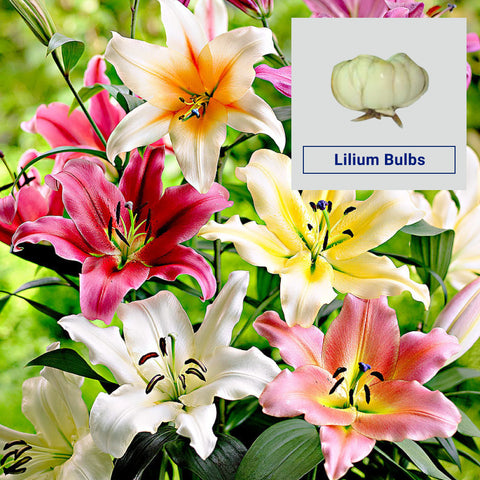 Lilium Flower Bulbs