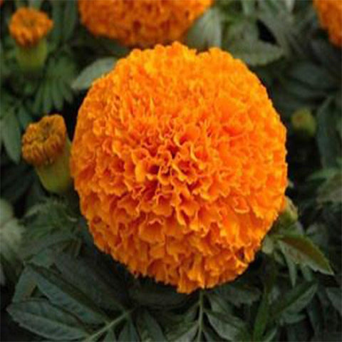Marigold orange seeds (Hybrid)
