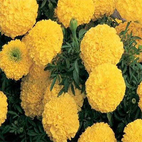 Marigold yellow seeds (Open Pollinated)