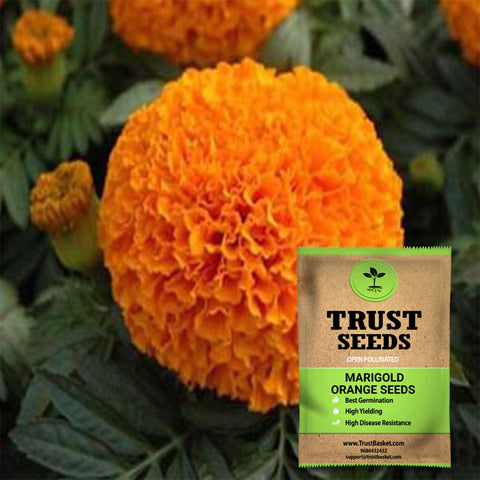 Under Rs.299 - Marigold orange seeds (Open Pollinated)