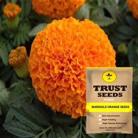 Buy Best Marigold Plant Seeds Online - Marigold orange seeds (Hybrid)